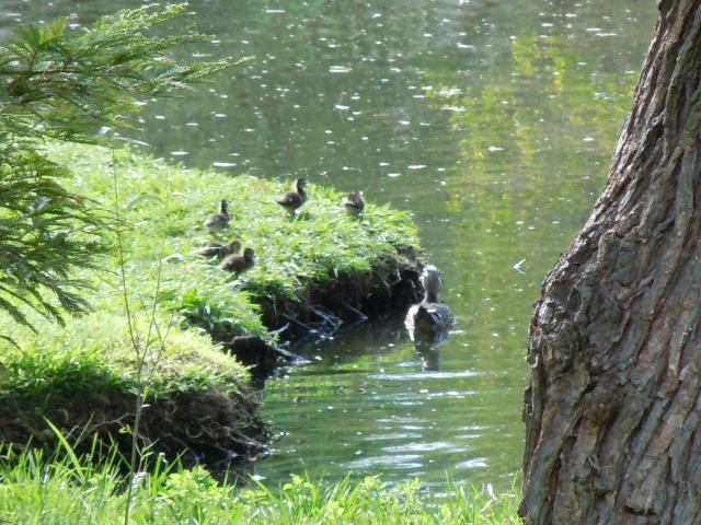 Baby Ducks Spring 2013