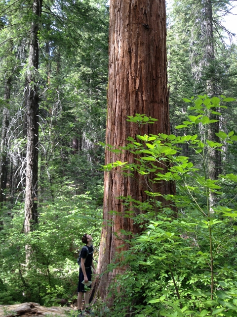 Placer Big Trees Grove