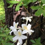 Western Azaleas Placer Big Trees Grove