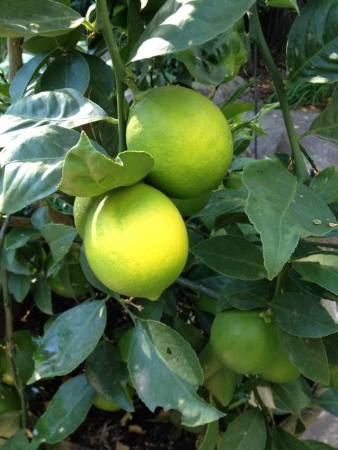 Meyers Lemon Tree