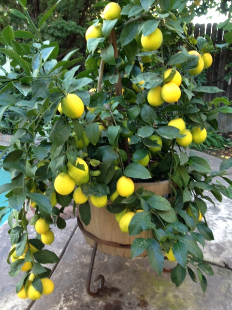 Meyers Lemon Tree