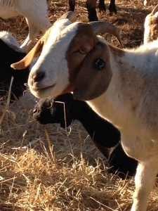 Goats in the neighborhood. Nutmeg Notebook