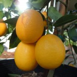 Meyer Lemon Tree, Corazonas Oatmeal Sq 016